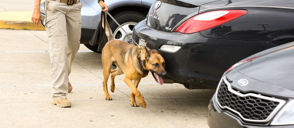 A dual purpose dog training for drug detection