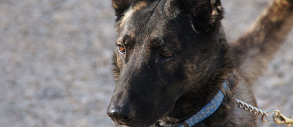 A Dutch Shepherd Guard Dog