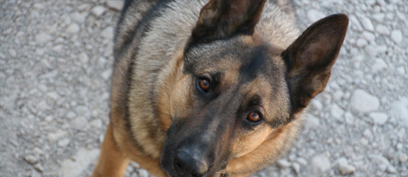 A German Shepherd Working Dog