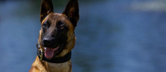 A Belgian Malinois Police Dog