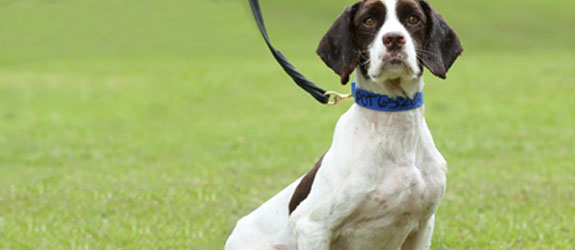 A Springer Spaniel Contraband Detection Dog