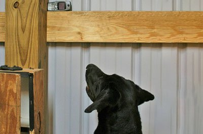 A cell phone detection dog alerting to the presence of a mobile phone