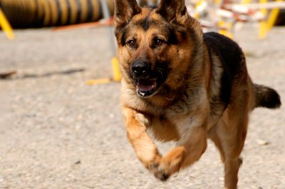 Dogs are hand-selected for K9 training