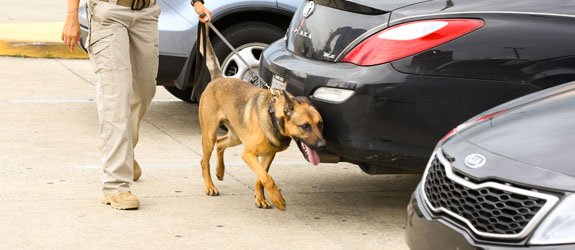 A dual purpose dog training for drug detection