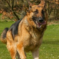 We have a successful adoption program for retired AMK9 dogs